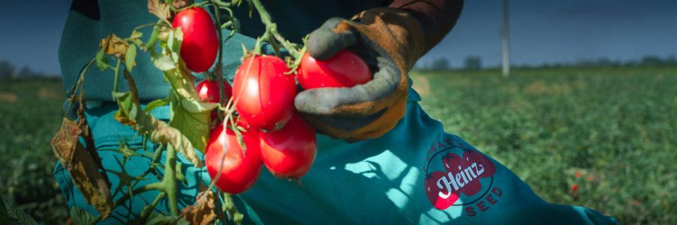 Disponemos del catálogo de semillas de tomate  de industria más extenso del mercado.